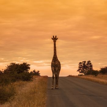 Giraffe standing front view on safari road at sunrise in Kruger National park, South Africa ; Specie Giraffa camelopardalis family of Giraffidae