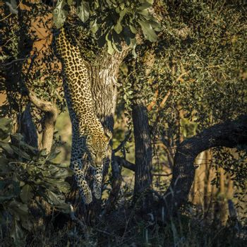 Leopard jumping down a tree in Kruger National park, South Africa ; Specie Panthera pardus family of Felidae