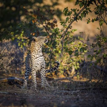 Leopard watching a prey in a tree in Kruger National park, South Africa ; Specie Panthera pardus family of Felidae