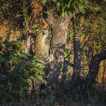 Leopard climbing a tree in Kruger National park, South Africa ; Specie Panthera pardus family of Felidae