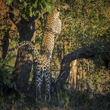 Leopard jumping up a tree in Kruger National park, South Africa ; Specie Panthera pardus family of Felidae