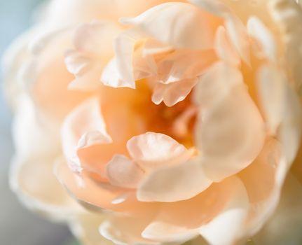 Beautiful close up softness yellow rose petal background