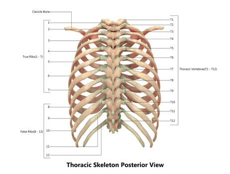 3D Illustration Concept of Human Skeleton System Hand Thoracic Skeleton Described with Labels Anatomy Posterior View