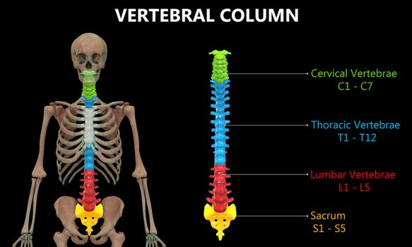 3D Illustration Concept of Vertebral Column of Human Skeleton System Described with Labels Anatomy Anterior View