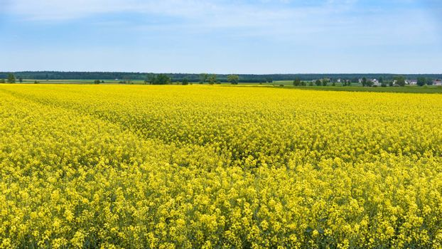 Panoramic view of rural landscape of blooming rapeseed field