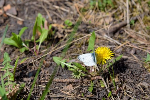 White butterfly on the yellow flowerhead of field milk thistle