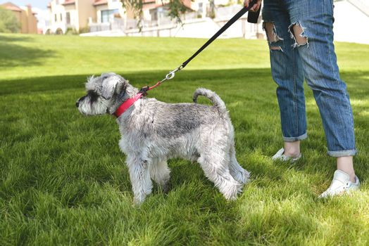 The owner of the dog walks his beautiful dog Schnauzer in the park. close view