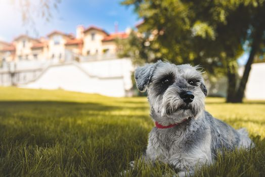 portrait of a beautiful dog schnauzer sitting on the grass and looking into the distance in the park.The concept of love for animals. best friend