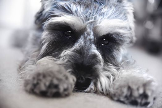 Puppy miniature schnauzer lies on the floor, funny dog