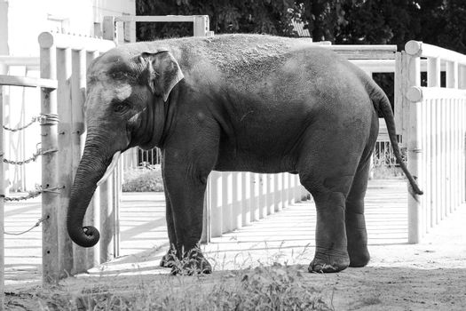 African elephant in the zoo, wild animal