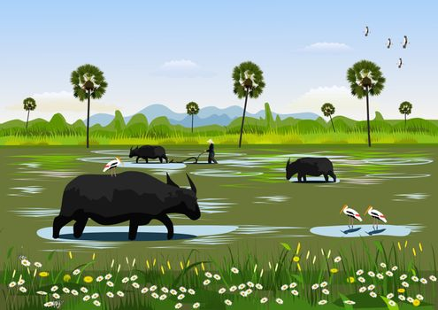 Buffalo eating grass in the field with birds searching for food beside,Farmers are using buffalo to cultivate the soil,Palm trees and mountains in the background