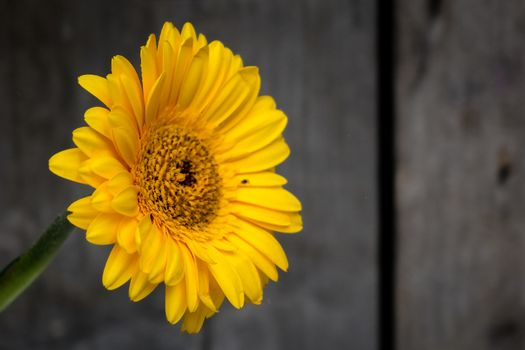 Yellow gerbera flower with a wooden background