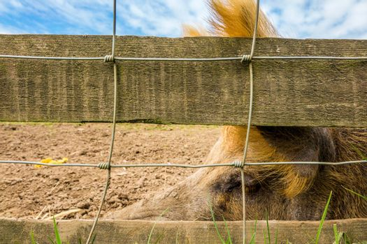 Close-up of a pig snout behind a fence