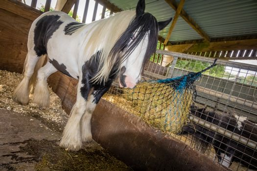 Beautiful white horse eating hay in his stable on a farm