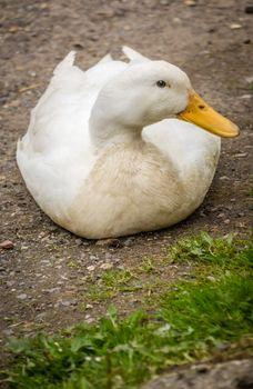 Lazy duck on a ground on a farm