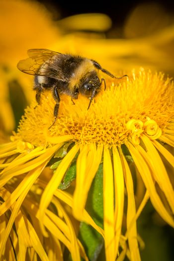 Macro shot of a bee collecting pollen on a yellow flower, summer