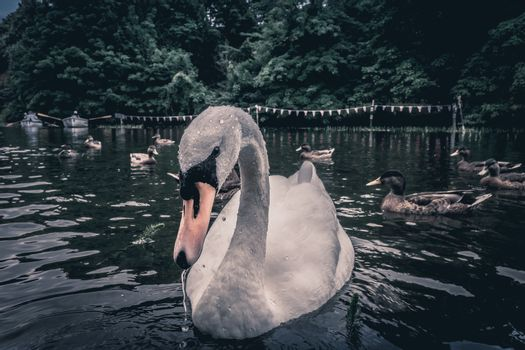 White swan and ducks on an artificial water channel in English countryside