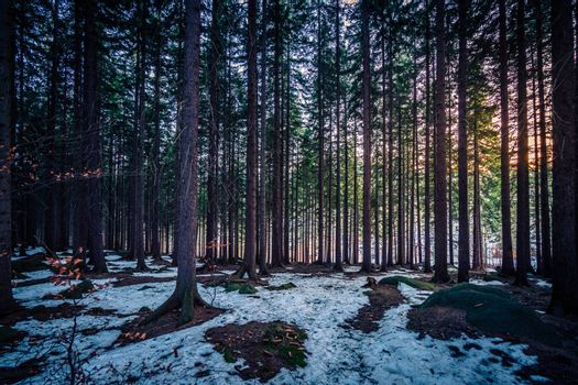 Dense pine forest in winter, Karkonosze mountains, Poland