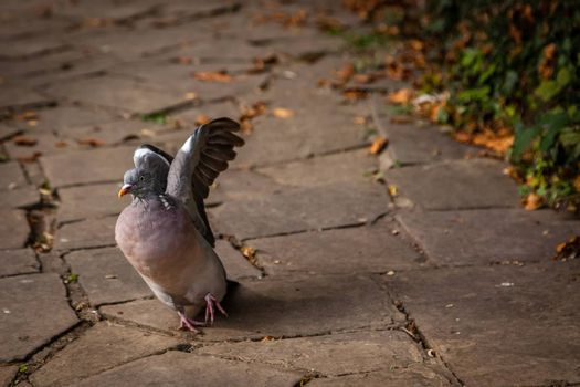 Pigeon about to take off from the ground