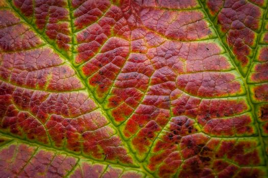 Detail of the heuchera plant leaf in early autumn