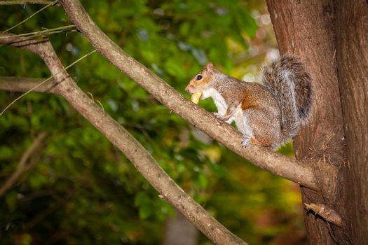 Close up of a grey squirrel sitting on a tree branch in a park and eating nut