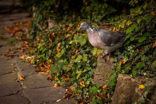 Fat pigeon walking on a ground in a park in spring