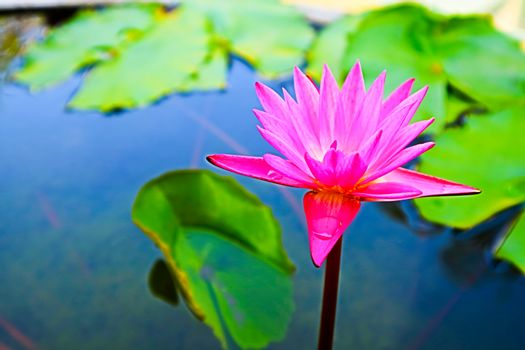 pink lilly flower blooming on day green lilly pad backgroung