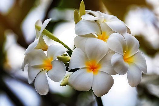 White and yellow frangipani flowers at sunset.