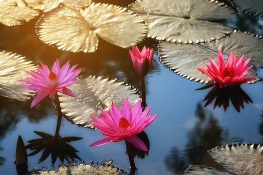 The red lotus blossoms in the early morning.