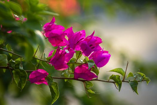 Pink bougainvillea flower with green leaf. Close up view of bougainvillea red flower. Colorful purple flowers texture and background for designers.