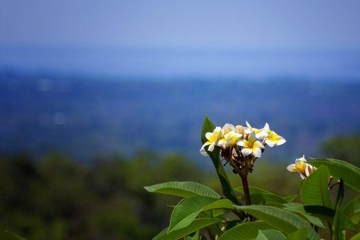 Plumeria flowers, beautiful plumeria flowers Amazing Thai Leelawadee flowers on a beautiful mountain backdrop.