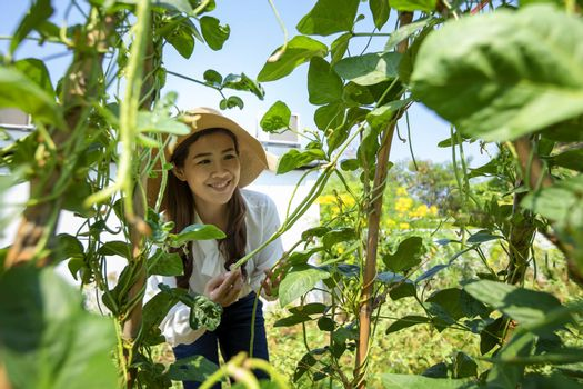 Asian female farmer is looking after her organic vegetable garden and maintaining fresh vegetables for her household.