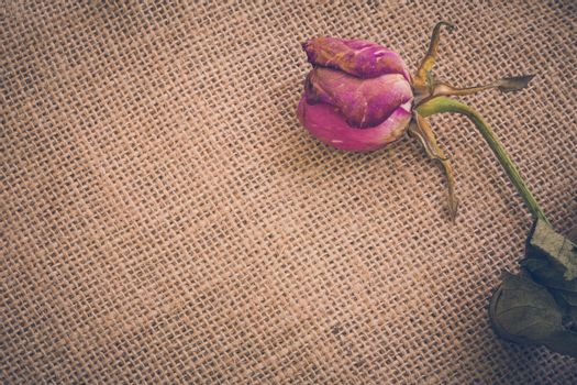 Withered and dried rose flower illustrating sadness concept.