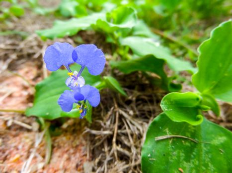 commelina benghalensis is a perennial herb native to tropical As
