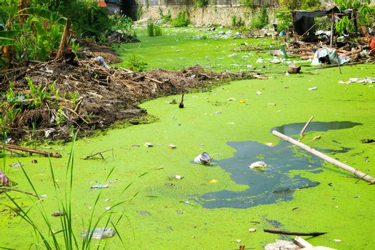Duckweed as an indicator of water pollution