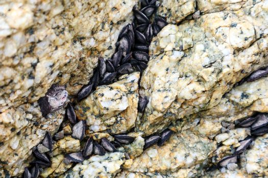 Mussel is usually having a dark elongated shell hang on rock