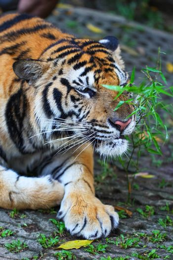 Sumatran tiger laying on ground and sniffing plant