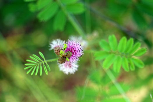 Mimosa pudica or sensitive plant purple bouquet flower blooming