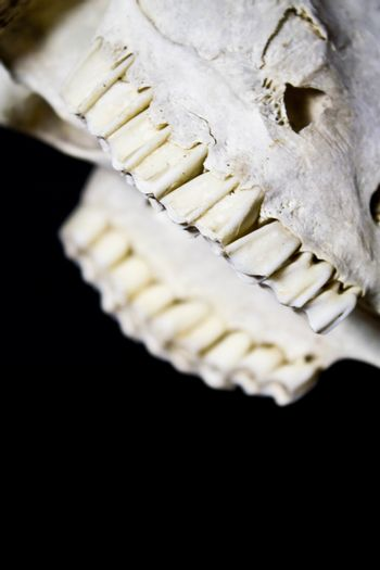 Close Up of an Animal Skull on Plain Background Horror Halloween