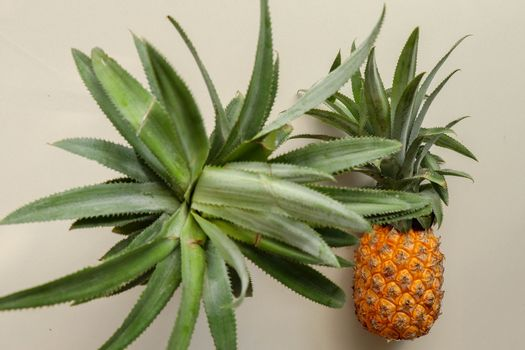 Couple whole pineapple tropical fruit or ananas isolated on white background. Top view whole ananas with leaves. Yellow orange ripe fresh pineapple. Two exotic tropical fruit. A full pineapple.