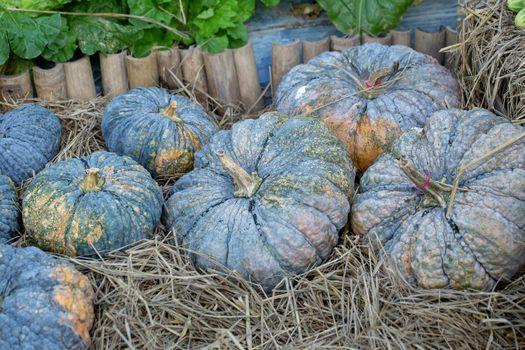 Pumpkin grows in the garden