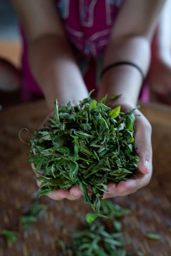A vertical shot of womans hands holding fresh tea leaves gathered from the plantation