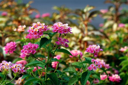 Pink Lantana flowers, Phakakrong (thai word) blossom small spring on green beautiful and fresh background