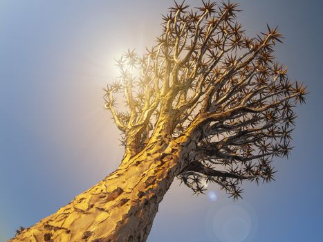 Quivertree aloe tree in Namibia, Africa. in Namibia in Africa.