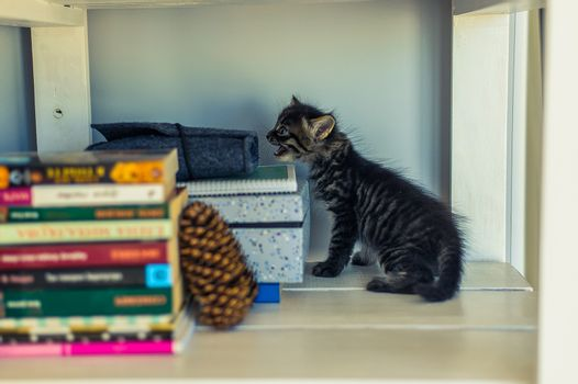gray striped kitten on white shelves with books and a fir cone