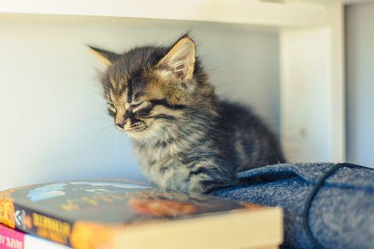 gray striped kitten sits on a bookshelf