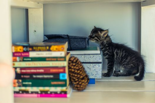 gray striped kitten on a white shelf with books and a fir cone