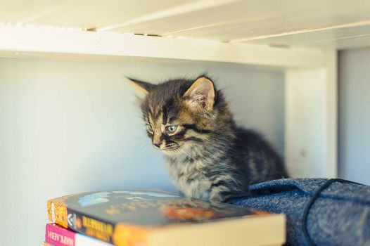 gray kitten with stripes sits on a bookshelf