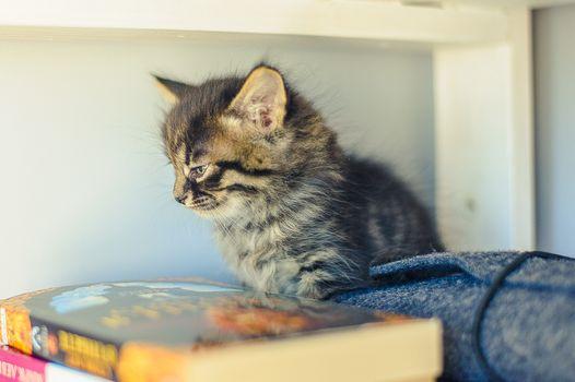 gray kitten with stripes sits on a white bookshelf