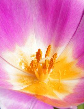 beautiful pink tulip closeup